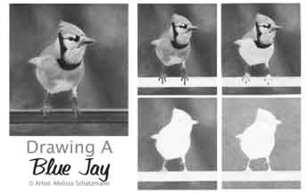 Realistic Pencil Drawing - How to draw a Blue Jay Tutorial