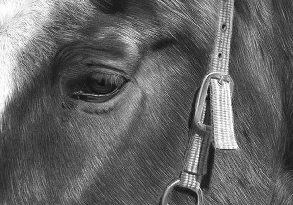 Horse Study II - Graphite Pencil Drawing by Canadian Realist Artist Melissa Schatzmann