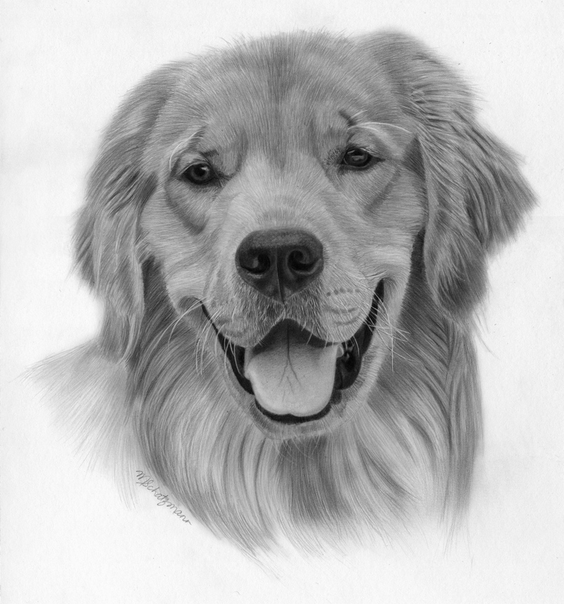 Drawing Lesson - How to Draw A Golden Retriever