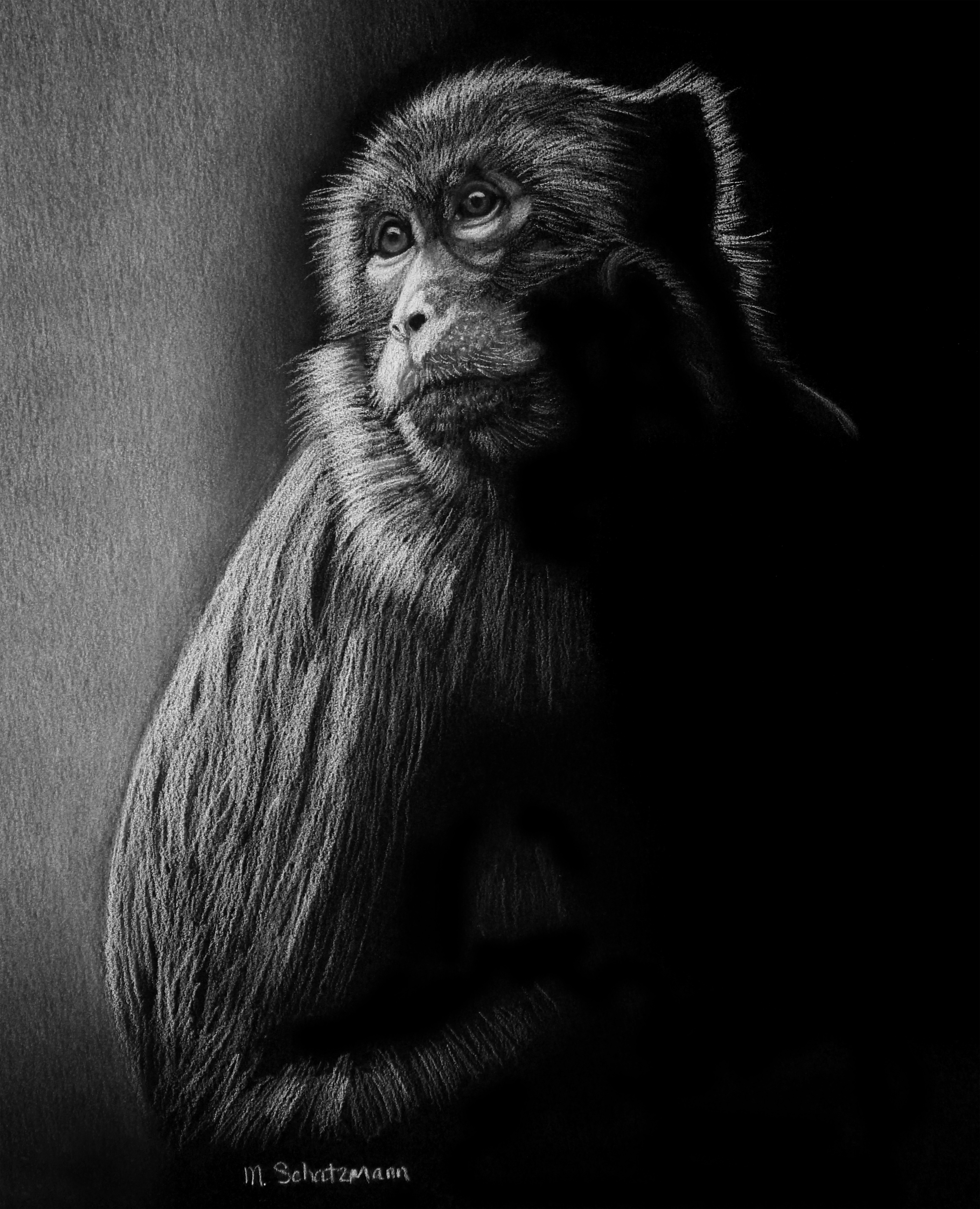 Realistic Pencil Drawings - Macaque Monkey